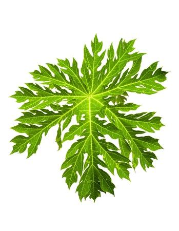 Papaya leaf isolated on white background Stock Photo