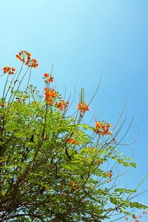 Peacock flowers on poinciana tree  Stock Photo