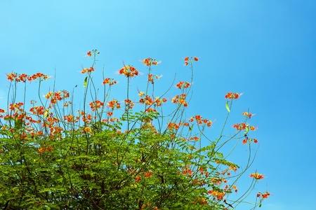 Peacock flowers on poinciana tree with blue sky