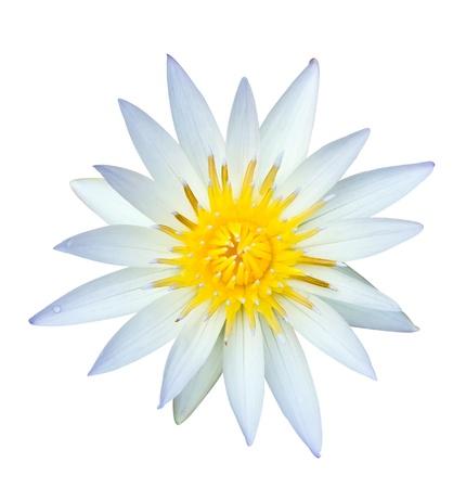 White lotus isolated on white background photo