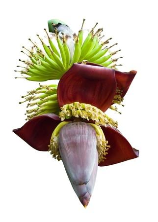 Banana blossom isolated on white background Stock Photo