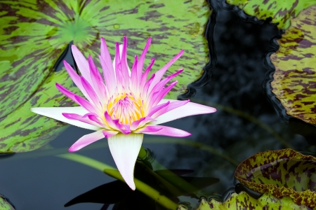 Water lily in the pond with spot green leaf  photo
