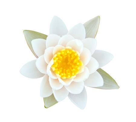 lirio acuatico: Lirio de agua blanca con polen amarillo aislado en blanco