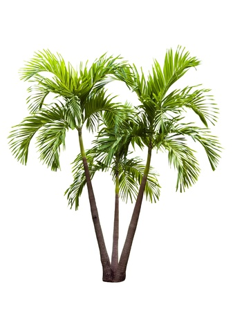 betel palm tree isolated on white photo