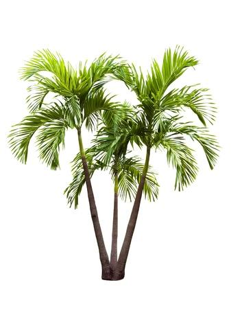 betel palm tree isolated on white Stock Photo