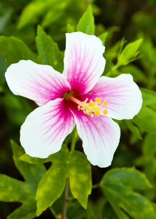 Pink and white hibiscus flower in garden