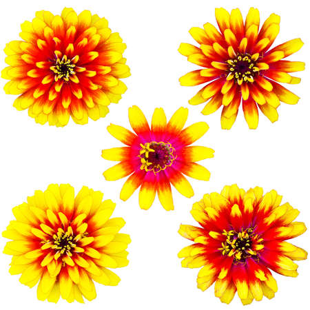 Collection of orange and yellow zinnia flower isolated on white Stock Photo