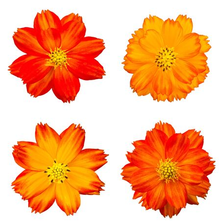 Orange cosmos flower isolated on white photo