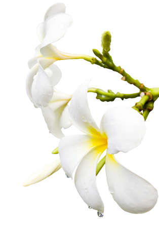 Plumeria Spa Flower isolated on white  photo