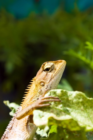 Chameleon on green tree branch