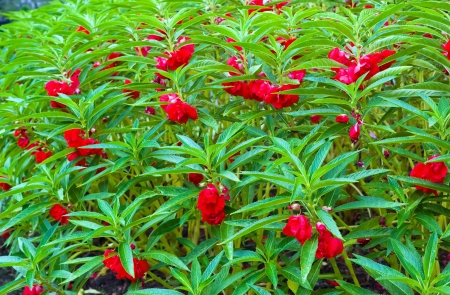 Red Garden Balsam, Impatiens Balsamina Linn flower in garden Stock Photo - 17749967