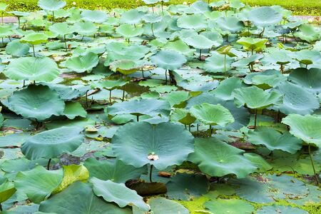 Green Lotus leaf in pond in sunny day  Stock Photo
