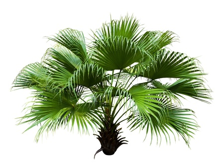 Chinese Fan Palm isolated on white background