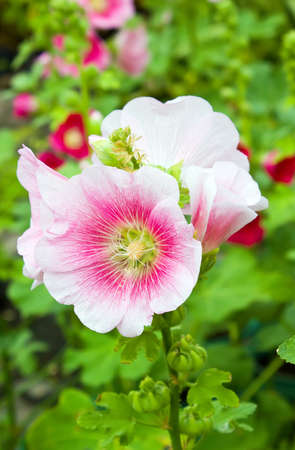 hollyhocks: Hollyhocks flower in the garden with leaf Stock Photo