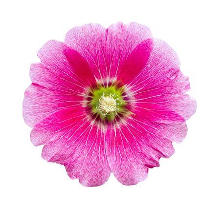hollyhocks: Hollyhocks flower isolated on white Stock Photo