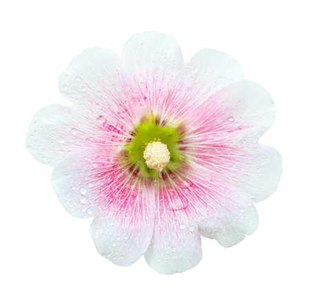 hollyhocks: White and pink Hollyhocks flower isolated on white Stock Photo