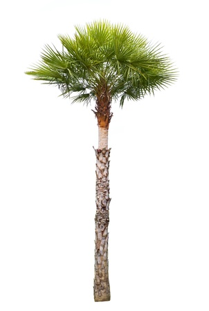 Carnauba Wax Palm tree isolated on white photo