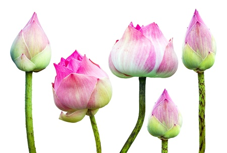 Beautiful pink lotus flower isolated on white photo