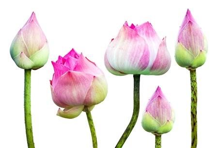 Hermosa flor de loto de color rosa aisladas en blanco