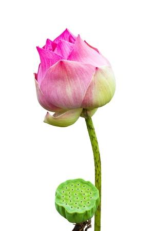 nice food: Семена лотоса и цветок лотоса на белом Фото со стока