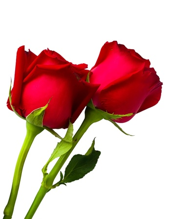 Two beauty red rose isolated on white photo