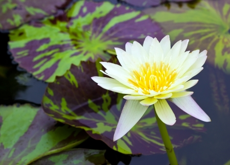 Beauty Yellow lotus in pond with leaf photo