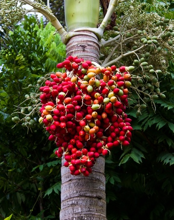 Red ripe Betel nut palm fruit on tree  photo
