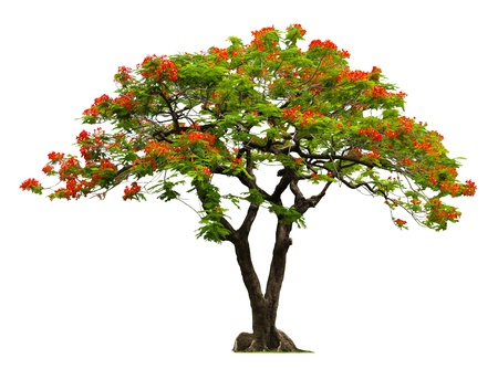 Royal Poinciana tree with red flower isolated on white Stock Photo