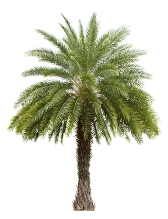 Old Date palm tree isolated on white background