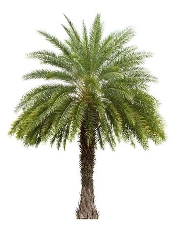 Vieux palmier Date isolé sur fond blanc