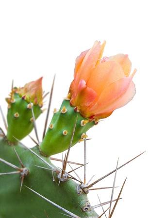 Orange Cactus flower isolated on white background