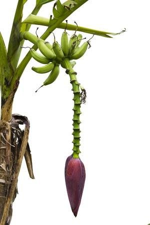 Banana fruit and banana blossom on tree isolated