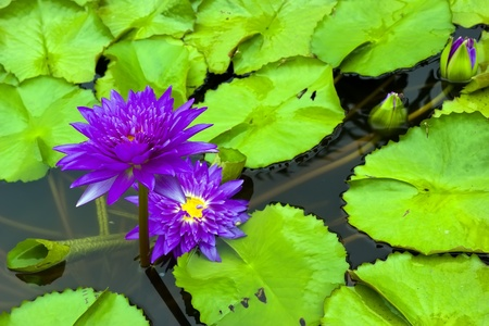Purple water lily  lotus  and leaf in pond