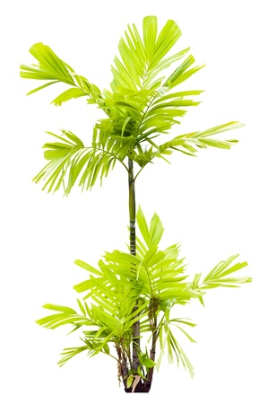 Young MacArthur Palm tree isolated on white