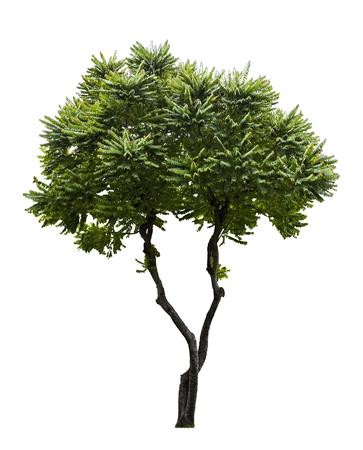 Phyllanthus acidus tree isolated on white