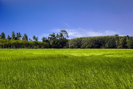 Rice green field in the south of Thailand with Rubber tree