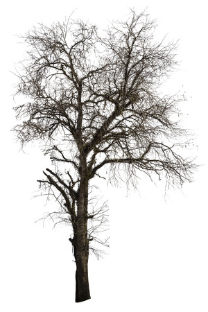 Dead tamarind tree isolated on white background Stock Photo