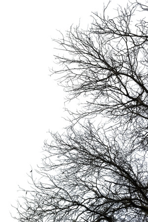 Dry death tree isolated on white background Stock Photo