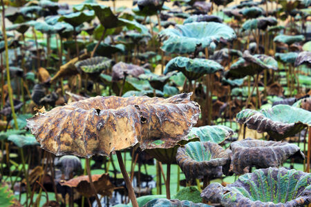 Dry and fresh lotus leave in pond photo