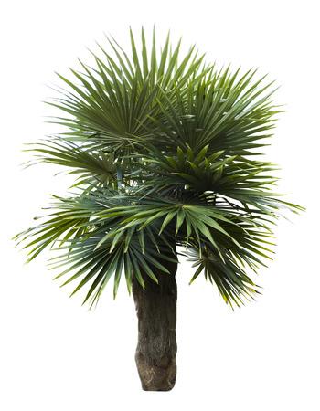 Old man palm tree , Coccothrinax crinita isolated on white Stock Photo