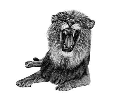 lion dessin: Lion dessin de crayon isol� sur blanc