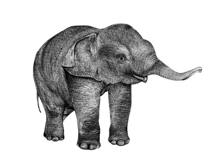 Young Elephant drawing from pencil isolated on white Stock Photo