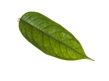 Durian: Sầu riêng lá bị cô lập trên nền trắng