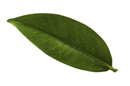 Mangosteen leaf isolated on white Stock Photo