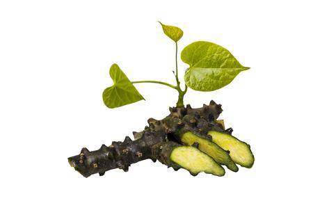 Tinospora Cordifolia with leaf isolated