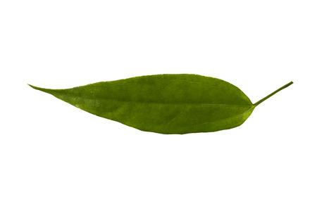 Laurel clock vine leaf isolated on white Stock Photo
