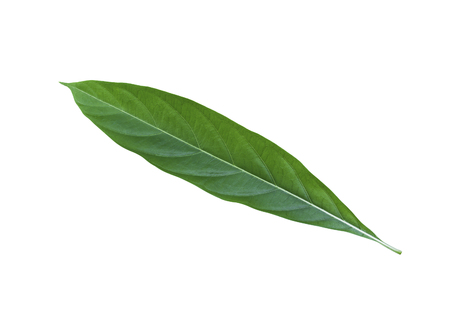 great morinda: Great Morinda leaf isolated on white