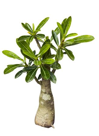obesum balf adenium: Desert Rose tree isolated on white Stock Photo
