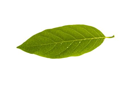 chirimoya: Chirimoya hojas aisladas sobre fondo blanco Foto de archivo