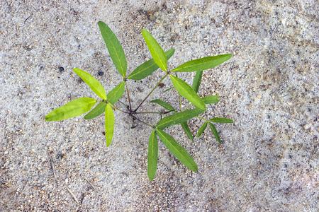 groundnut: Bambarra Groundnut grow in farm Stock Photo